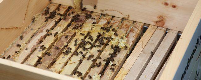 Die fleißigen Bienen erhielten neues Futter und eine Behandlung gegen die Varroamilbe.